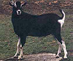 British Alpine buck