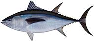 Southern bluefin tuna