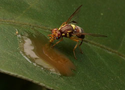 Queensland fruit fly feeding on a pool of bait spray on a leaf