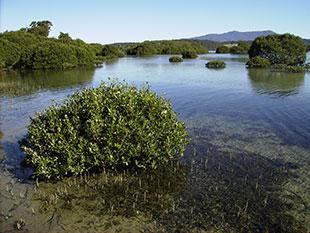 mangrove and seagrass habitat
