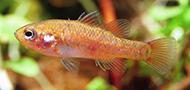 Southern pygmy perch
