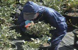 Checking nursery plants for Myrtle rust
