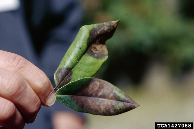 Two leaves being held up by a human hand, leaves are green with significant brown patches