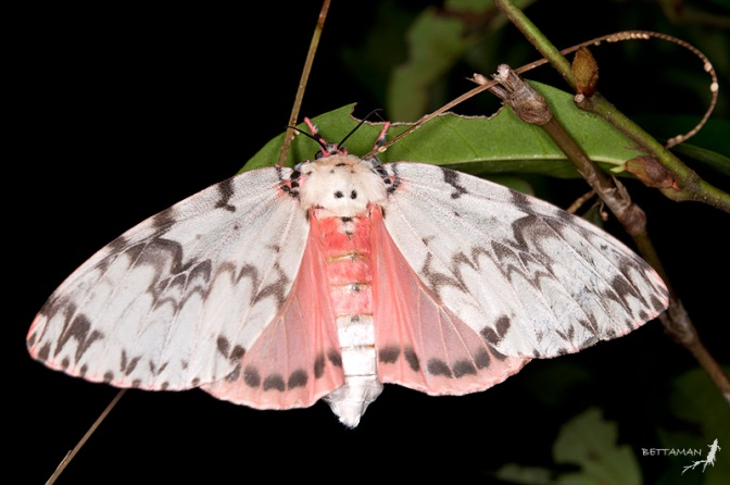 Female pink gypsy moth with wings expanded showing white and grey patterning of forewing and pink colouring of hindwing