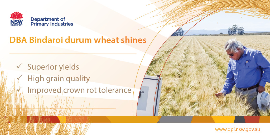 DBA Bindaroi durum wheat shines - superior yields, high grain quality and improved crown rot tolerance