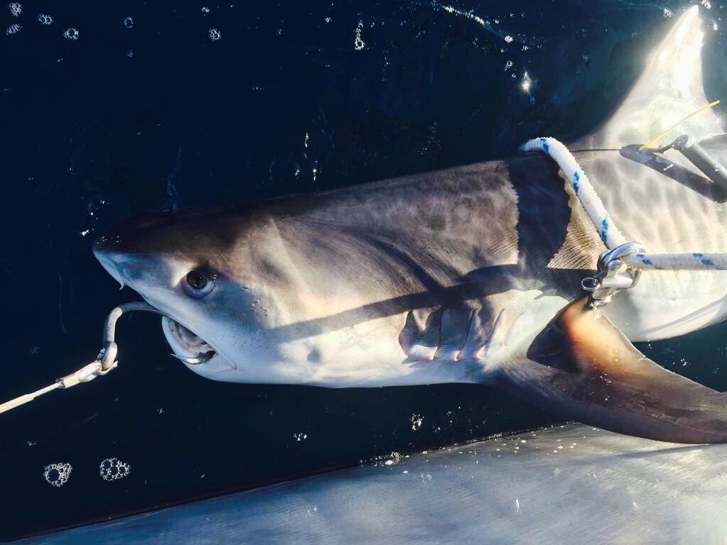 shark on SMART drumline