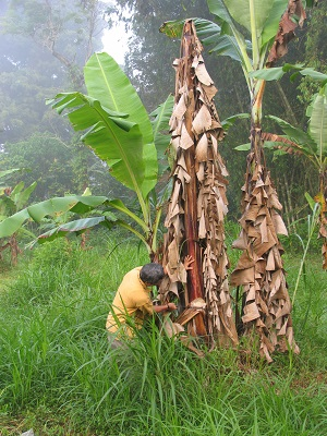 Figure 1. Skirts of dead leaves form around the base of banana plants infected with blood disease