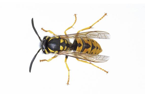 European wasp queen