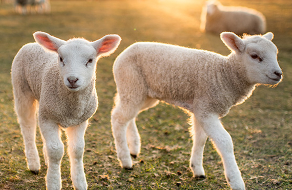 Two lambs sit next to their mother in green grass