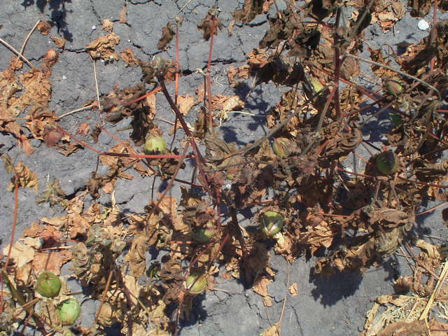 Cotton plants that have died with browned leaves and stems