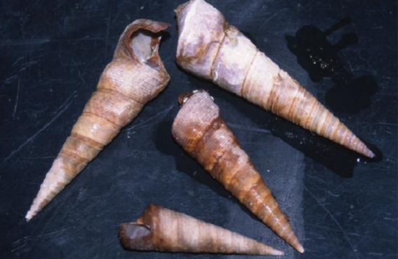 New Zealand Screw Shell - a long and skinny conical white and brown shell.
