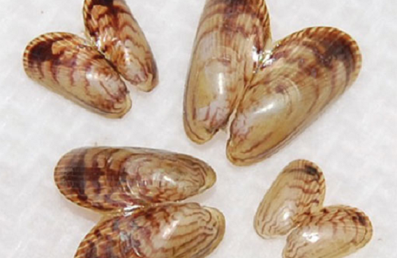 The picture shows the opened up shells of 4 asian date or bag mussels. The shells are light brown in colour with a darker brown zig zag like pattern running across the shells.