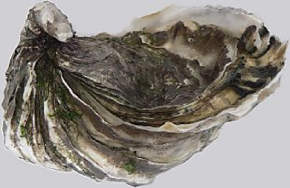 Picture of a Pacific oyster which is a pale off-white oyster that has been greyed by fouling. The shells are slightly different in size and it has sharp radial folds in the shell.