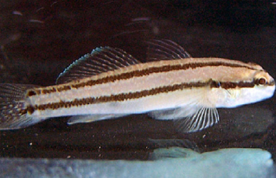 Japanese Goby