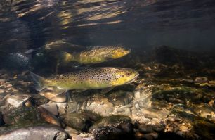 two brown trouts in freshwater