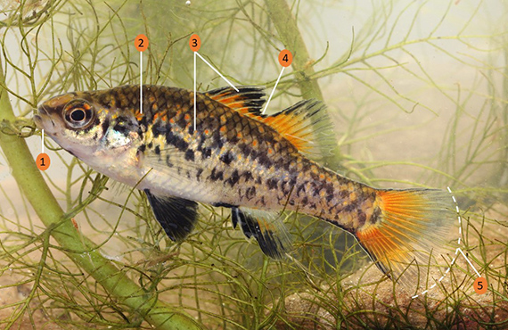 How to identify a Southern Pygmy Perch