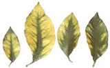 Magnesium deficient yellow leaves