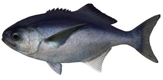 Blue-eye Trevalla