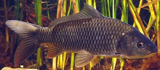 General information about carp