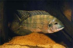 Redbelly Tilapia
