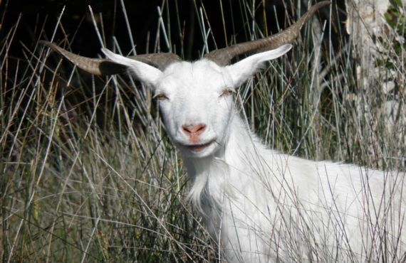 Feral goat biology and distribution