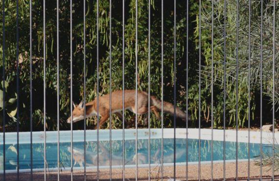 fox near a suburban swimming pool