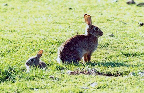 pair of rabbits sitting near a burrow