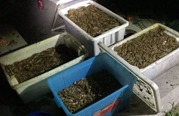 Four plastic crates of seized prawns from the Shoalhaven area (NSW South Coast)