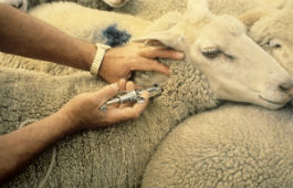 Sheep receiving a vaccination