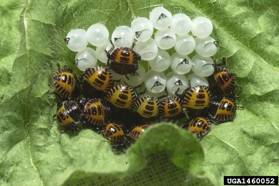 Many little nymphs on a leaf