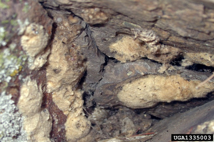 A number of Asian gypsy moth egg masses on the surface of a rock. Egg masses are coated with a layer of tan coloured protective fuzz from the females abdomen.