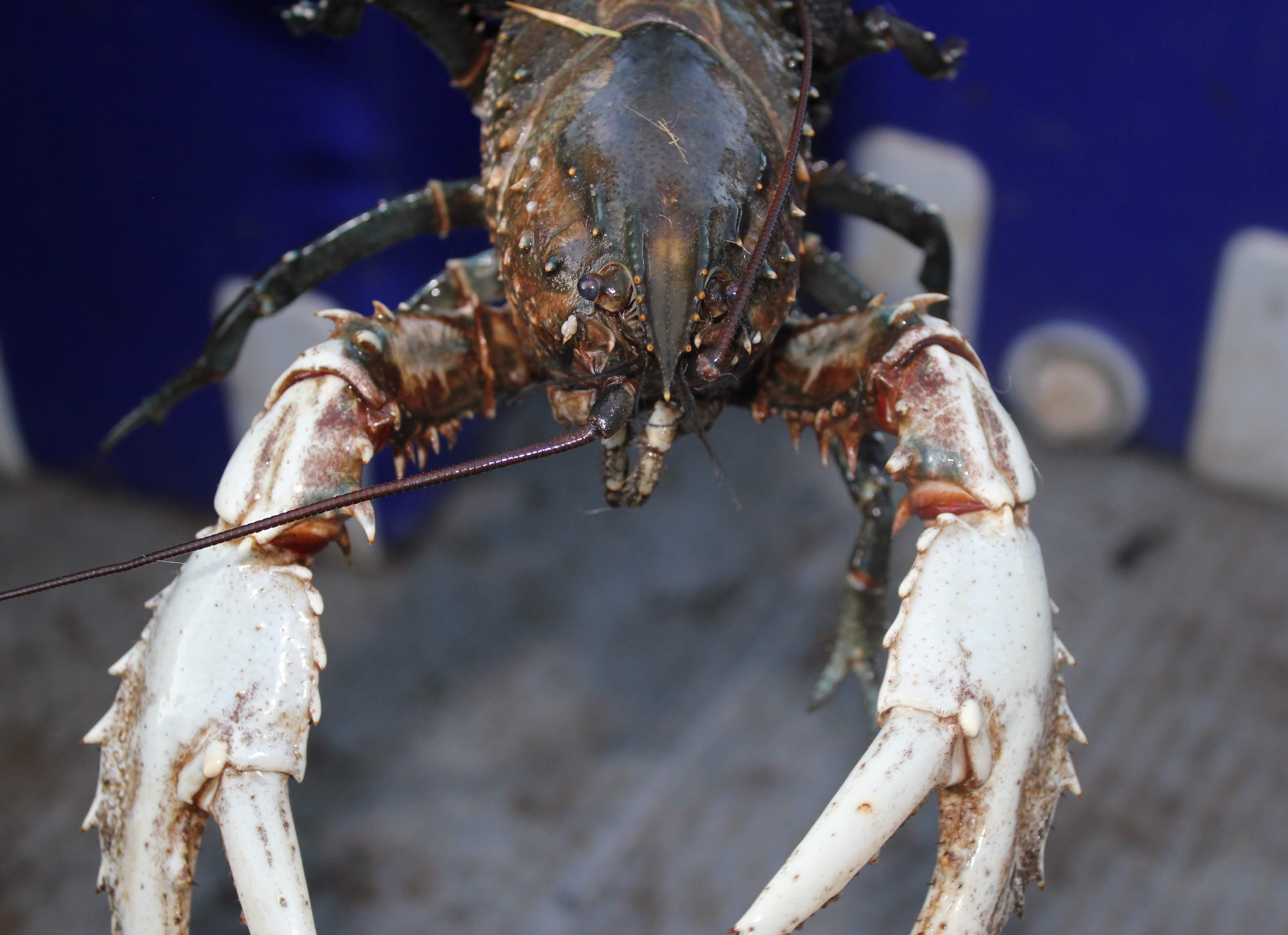 Murray Crayfish Credit: Erin Lake