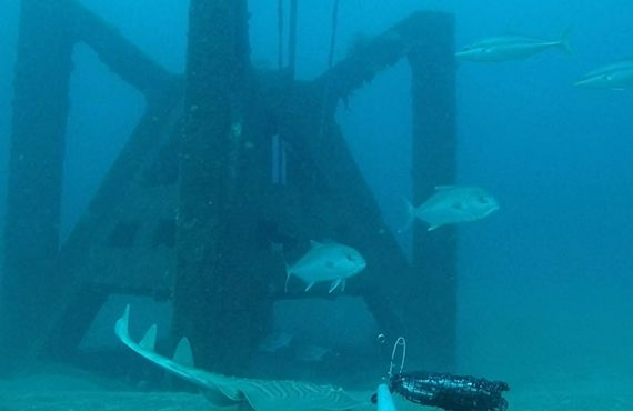 Yellowtail Kingfish & Samson fish at Port Macquarie offshore artificial reef June 2018