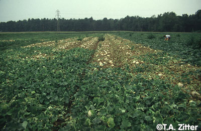 View of a melon field with an irregular patch of dead plants on the centre