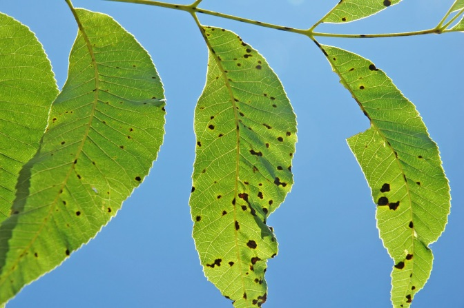 Light green leaves from a pecan tree with dark brown spots