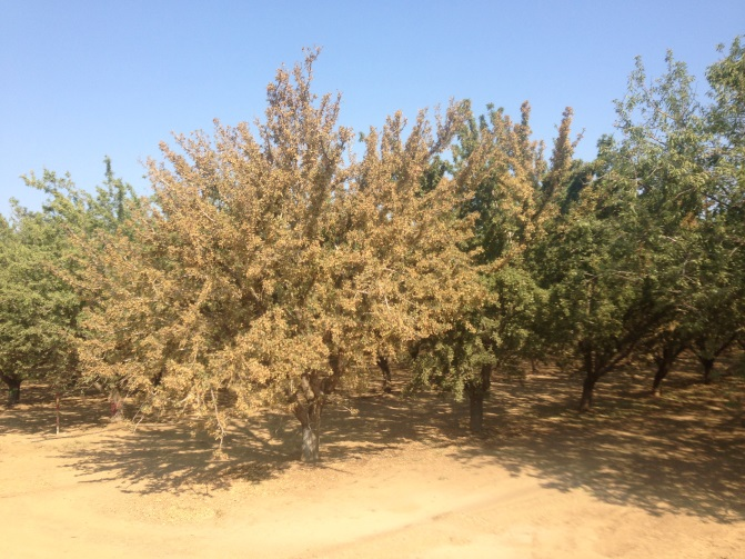 An almond orchard with one tree showing yellow/brown discolouration of whole canopy and an adjacent tree showing discolouration in part of the canopy, otherwise amongst healthy looking trees