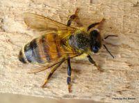 European honey bee resting on wood