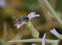 A dwarf honey bee collecting pollen from a small purple flower