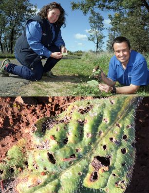 Top: Central Tablelands LLS regional weeds coordinator, Marita Sydes and NSW DPI weed biocontrol scientist, Andrew McConnachie, bottom: holes in Paterson's curse leaf indicating weevils present