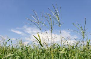 tropical perennial grass