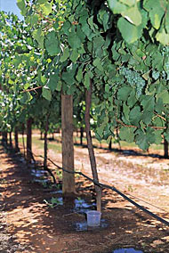 Irrigated grape vines