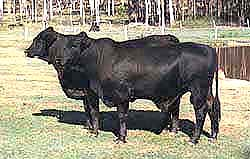 Brangus cattle