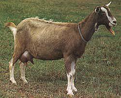 Goat breeds: Toggenburg