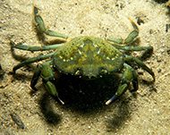 Eurpean green crab