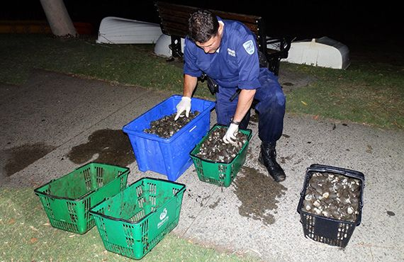 Fisheries Officer counting seized cockles from Sydney Harbour