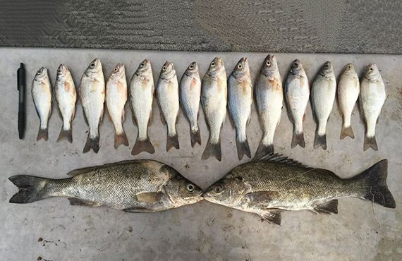 Seized Silver Perch (near Euston in Far West NSW) on ground