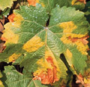Leaf of a grapevine with yellow and brown patches of disease