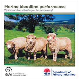 Merino Bloodline Performance - which bloodline will make you the most money? Three merinos in a field.