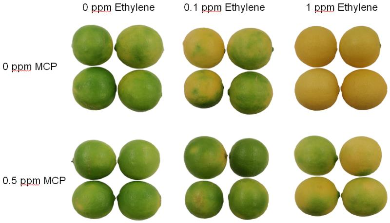 Figure 1. The effect of different ethylene levels and 1-MCP treatment on the peel colour of stored limes after 15 days at 20 oC.