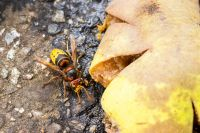 European hornet on the ground next to a squashed piece of fruit with juice leaking on to the ground